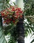 Unidentified fruit growing in La Fortuna.