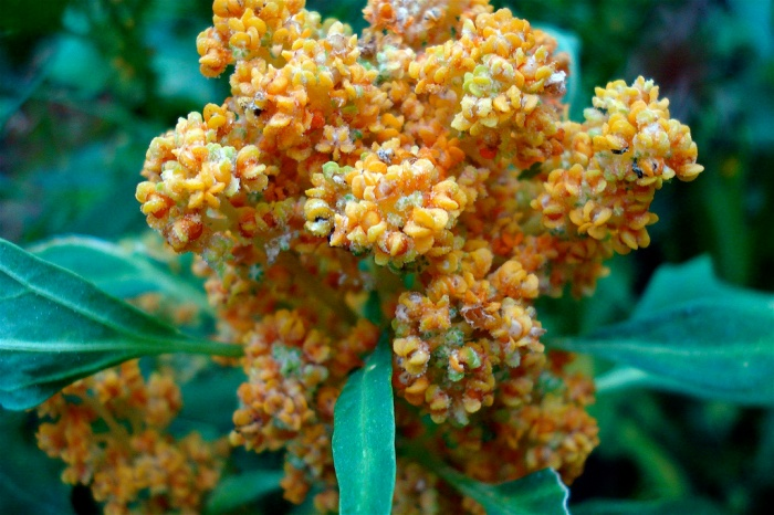 Flowering Quinoa by net_efekt via Flickr Creative Commons