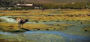 Chile_Atacama_Desert_Alpaca_e1280px72header