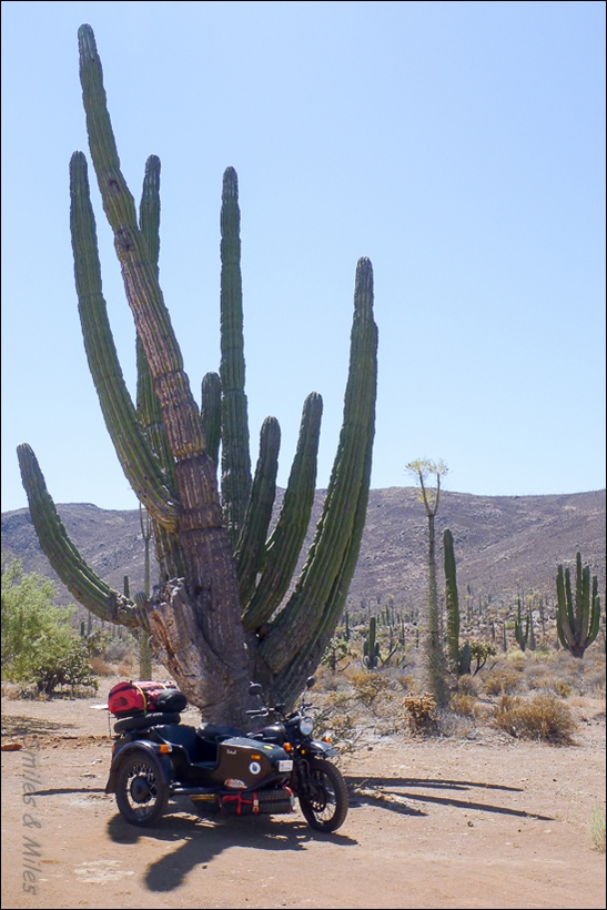 The Ural enjoying the shade of a giant cactus.